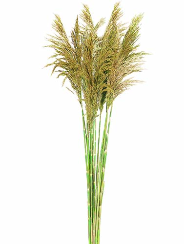 Plume Reed