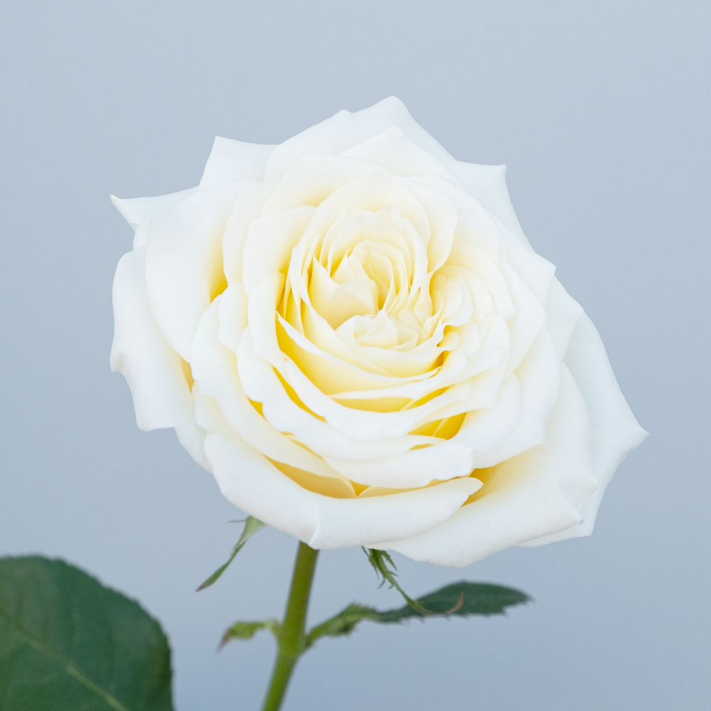 Candlelight Rose