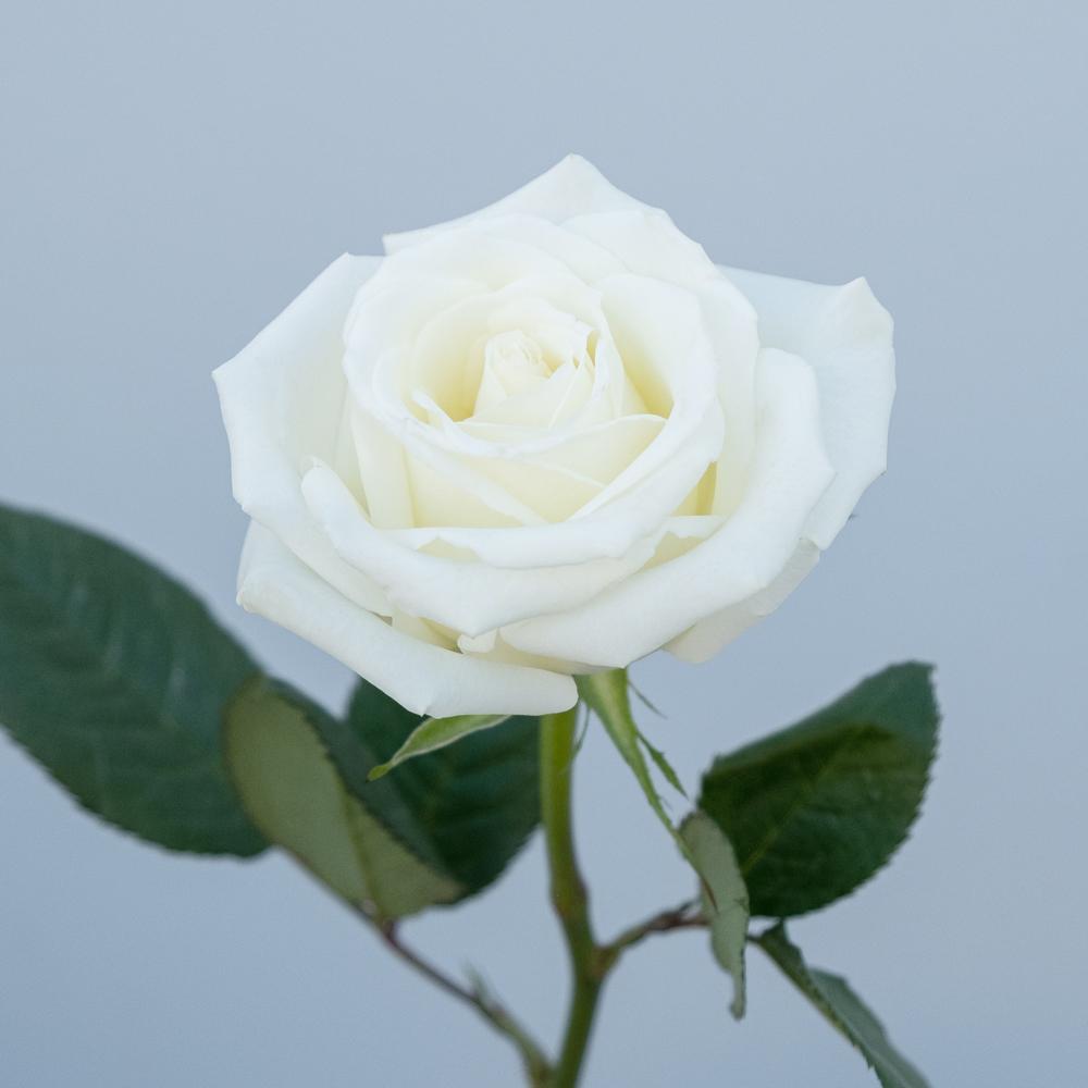 Escimo Roses