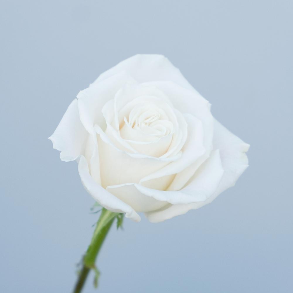 Playa Blanca Rose