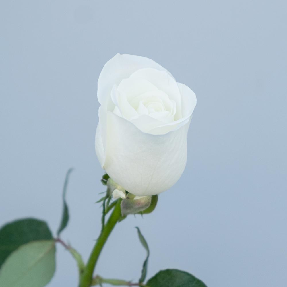 Tibet Rose