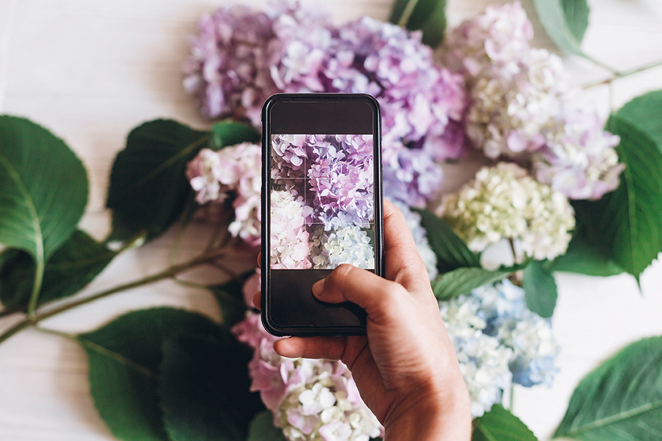 iPhone taking photos of hydrangea flowers